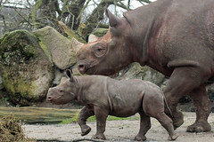 Mara and mother Naima (K.Verhulst) Tags: mara naima blackrhino zwarteneushoorn neushoorn rhino blijdorp diergaardeblijdorp rotterdam ngc npc