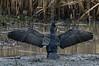 DSC_7342 Cormorant (Rattyman76) Tags: nikon5000mmf40 d500 cormorant feathers wings edmondsonhide penningtonflash