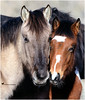 He's Not Heavy ... he's my brother (Aspenbreeze) Tags: wildhorses stallions foals colts horse pinto primitivehorse grullahorse wildhorsesofsandwasbasin nature winter coloradowildlife wildlife bevzuerlein aspenbreeze moonandbackphotography