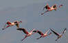 Lesser Flamingos in Flight I400 f5.6 s2500 400mm 1EV AP Evaluative [Explored Jan 19 2018] (mahesh.kondwilkar) Tags: bhanduppumpingstation birds flight india lesserflamingo migratorybirds typefaunabirds