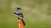 Loggerhead Shrike (Bob Gunderson) Tags: alamedacounty birds california eastbay laniusludovicianus loggerheadshrike northerncalifornia pattersonpassroad shrikes