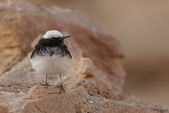 Hooded wheatear (Dave 5533) Tags: songbird hoodedwheatear wild nature outdoor bird birwatching wildlife naturephotography animal birdsinisrael canoneos1dx canonef300mmf28 animalplanet wildlifephotography coth coth5