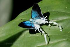 IMG_5228 Hypolycaena lebona (Raiwen) Tags: africa guinea westafrica moyenneguinée butterfly lycaenidae theclinae hypolycaena hypolycaenalebona foutadjalon