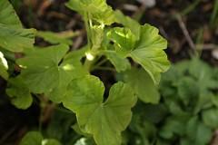 180124022 (murbozero) Tags: murbo japan flower