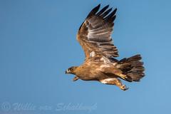 Aquila rapax (Willievs) Tags: tawny eagle roofarend arend wildlife kgalagadi bif aquilarapax
