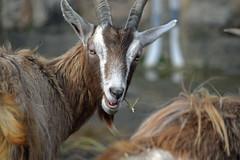 Goatspeak 3