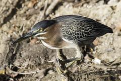 green heron (material guy) Tags: greenheron bubalibirdsanctuary aruba