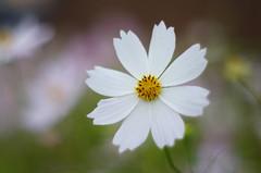 Softness (Baubec Izzet) Tags: baubecizzet pentax flower nature bokeh flickrunitedaward