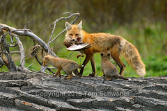 Dinner's Been Delivered! (pdxsafariguy) Tags: usa wyoming nationalpark grandteton tree mammal kit fox nature wildlife young animal baby den redfox spring pup mother canine family vulpesvulpes duck log bark prey tomschwabel