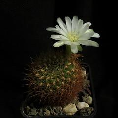 Sulcorebutia mentosa var. flavissima JO429 '388' (Pequenos Electrodomésticos) Tags: cactus cacto flower flor sulcorebutia sulcorebutiamentosaflavissimajo429