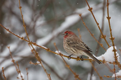 Snowy day (lilredlizzie) Tags: canon outdoors outside nature naturelovers travel winter weather beautiful pretty canon60d canonef70300 bird birdsofmassachusetts birding snow snowing dof bokeh massachusetts newengland animal animalplanet
