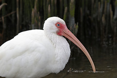 White Ibis (Alan Gutsell) Tags: birds birding statepark southtexasbirds texas alamo wildlife nature bird photo canon whiteibis ibis wader swamp