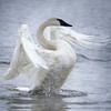 Trumpeter Swan - Misty Display 2 (Patti Deters) Tags: swan bird water mist display wings wildlife nature trumpeterswan white grey blue ripple feathered flap cygnus buccinator avian lake river feather wild winter trumpeter fog flapping pond wingspan beak freshwater midwest usa wisconsin stretching neck stretch texture square trumpeterswanmistydisplay
