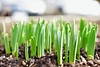 The earth awakens! (ineedathis, Everyday I get up, it's a great day!) Tags: flowers daffodils growth garden nature winter macro bokeh nikond750 earth flowerbed