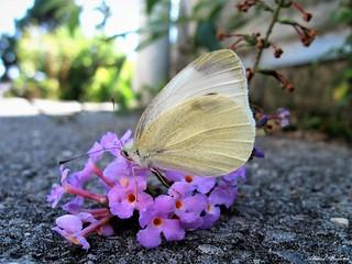 Butterfly 1612
