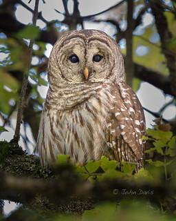 Barred Owl 20131013_2657