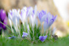 Floor-al display (odell_rd) Tags: crocus lilac purple garden tamronsp90 ngc coth5
