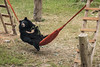 moon bear in a hammock! (Animals Asia) Tags: animalsasia vietnam vbrc vietnambearrescuecentre sanctuary pascal anne