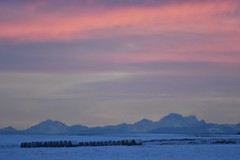 _DSC8775 (barrypphotos) Tags: southern ab rocky mnt sunset prairie round bales winter pink