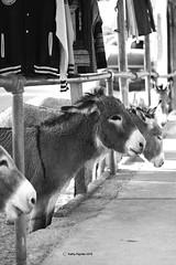 Oatman dinner lineup 5252 (kathypaynter.com) Tags: oatman oatmanarizona makingacircle oatmanaz route66 rte66 arizona arizonaroute66 rte66arizona burro burros donkey donkeys oatmanburro oatmanburros