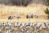 Sandhill cranes (dpsager) Tags: bird birds bosquedelapache bosquedelapachenationalwildliferefuge crane dpsagerphotograph newmexico northernpintail sandhillcrane socorrocounty ducks