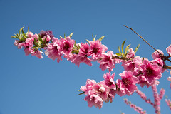 DSC_1198 (rskim119) Tags: fresno fruit tree blossom flower trail spring