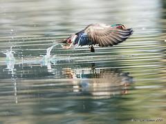 Gathering Speed (pandatub) Tags: bird birds duck woodduck elkgrove