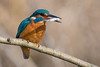Eisvogel (Alcedo atthis) (Silu Junior) Tags: kingfisher eisvogel bird vogel nature natur wildlife nikon sigma animal tier s