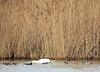 Un intrus chez les Oies cendrées (jean-daniel david) Tags: cygne oie oiecendrée nature roseau eau réservenaturelle lac lacdeneuchâtel oiseau oiseaudeau