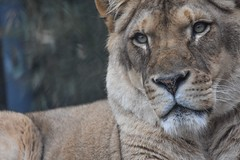 Gorgeous Lioness (stephanieswayne1) Tags: beautiful endangered portrait profile eyes face head feline fur zoo akron cat big animal wild pride close up looking female lioness lion african africa