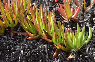 Essbare Mittagsblume (Carpobrotus edulis) auf den Küstenfelsen bei Sagres, Algarve (7)