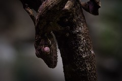 Leaf-tailed Gecko, Singapore Zoo (_paVan_) Tags: nature leaftailedgecko lizard reptile reptopia reptilian singaporezoo zoo gecko singapore