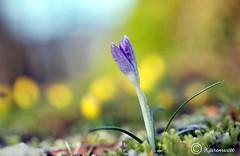 Frühblüher im Naturgarten 2018 Feb 29 (kairemwatt) Tags: winterlinge krokusse februar frühblüher