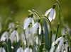 Snowdrops in the churchyard. An afternoon at Godmersham, Kent (Jim_Higham) Tags: old kent kentish beautiful unchanged untouched historic history galanthus flowers