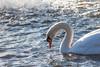 january 2018 lake katherine (timp37) Tags: bird swan palos winter lake katherine illinois january 2018