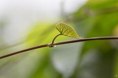 Jeune feuille en pleine lumière (alain_did) Tags: macro macroshoot nature naturallight naturelover feuillage feuilles bokeh lumière
