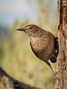 Mirlo común - Merla - Common blackbird (Fernando Guirado) Tags: 2018 enero olympus mirlocomún merla commonblackbird em1mk2 em1ii 40150pro bird pajaros pájaro au mc14x