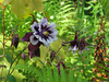 CKuchem-5946 (christine_kuchem) Tags: akelei blüte blüten farn garten insekten nahrung natur naturgarten nektar pflanze privatgarten schatten schattengarten selbstaussaat sommer wildpflanze dunkel lila naturnah natürlich wild zweifarbig