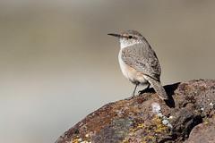 Rock Wren,  Salpinctes obsoletus (jlcummins - Washington State) Tags: salpinctesobsoletus vantage washingtonstate kittitascounty rockycouleerecreationarea bird wildlife fauna