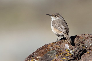 Rock Wren,  Salpinctes obsoletus