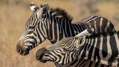 Nairobi-Nationalpark-0327 (ovg2012) Tags: kenia kenya nairobi nairobinationalpark