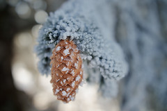 Wintery Macro - Vue-des-Alpes - Switzerland (Rogg4n) Tags: season tree leafs colors warm switzerland nature sigma1835mmf18dchsm feuille feuillage vegetal sigma macro forest bokeh proxi 2017 snow winter cold ice jura suisse canoneos80d pinecone wintery wonderland
