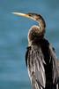 Ahninga Closeup (ap0013) Tags: ahninga bird birding nature wildlife sanibel island florida fl fla sanibelflorida sanibelisland