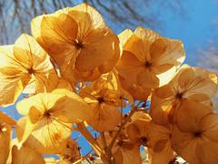 Let's look up (LivGreen07) Tags: dried flower petals hydrangea garden shrub sky winter trees