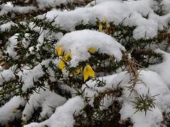 Gorse, Mineslope, Upper Cwmbran 1 March 2018 (Cold War Warrior) Tags: gorse snow cwmbran blaenbran