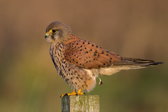 Lightening the Load (Simon Stobart) Tags: kestrel falco tinnunculus perched fence post northeast england defecating naturethroughthelens