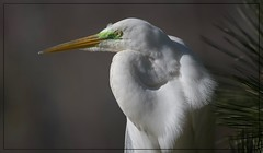 Great Egret Showing Green Lores (Christine Fusco) Tags: greategret breedingplumage breedinglores white feathers beak eye nature charleston southcarolina thelowcountry nikond500 nikkor20000