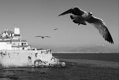 fly on the wings of love (bostankorkulugu) Tags: animals frenchriviera seagull seagulls bird wings flying sea mediterranean antibes france nice cotedazur promenadeamiraldegrasse