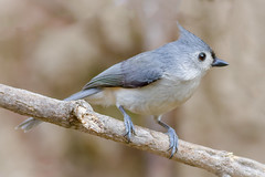 Tufted Titmouse. (tresed47) Tags: 2018 201803mar 20180302homebirds birds canon7d chestercounty content folder home march pennsylvania peterscamera petersphotos places season takenby tit us winter