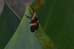 016-003 Besouro (agnaldo.severo) Tags: inseto verde folhas preto amarelo animal besouro